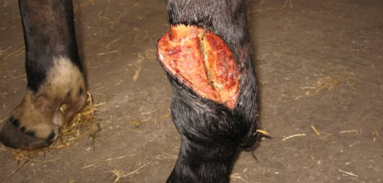 Horse-Wound---Before---web.jpg